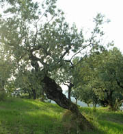 The DOP oil route in Umbria